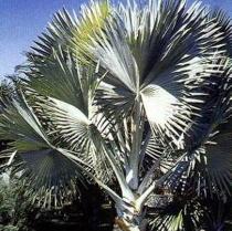 Bizmarckia Palm