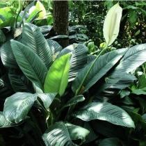 Spathphyllum sensation